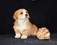 Вельш Корги Пемброк щенки (питомник «Nivas Joy» в Алматы)   - Изображение #2, Объявление #1582482