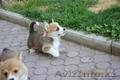Вельш Корги Пемброк щенки (питомник «Nivas Joy» в Алматы)   - Изображение #8, Объявление #1582482