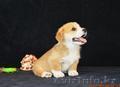 Вельш Корги Пемброк щенки (питомник «Nivas Joy» в Алматы)   - Изображение #3, Объявление #1582482