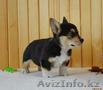 Вельш Корги Пемброк щенки (питомник «Nivas Joy» в Алматы)   - Изображение #5, Объявление #1582482