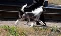 Пропал щенок вознаграждение 150000 тенге! - Изображение #3, Объявление #1585908