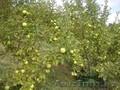 Яблони крупномеры плодоносящие деревья Алматы 10000 тг. - Изображение #4, Объявление #1258621