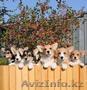 Вельш Корги щенки - Изображение #2, Объявление #1585083