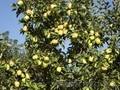 Яблони крупномеры плодоносящие деревья Алматы 10000 тг. - Изображение #8, Объявление #1258621