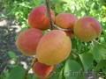 Абрикосы крупномеры плодоносящие деревья Алматы 10000 тг.