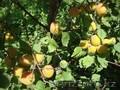 Абрикосы крупномеры плодоносящие деревья Алматы 10000 тг. - Изображение #3, Объявление #775415