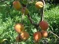 Абрикосы крупномеры плодоносящие деревья Алматы 20000 тг. - Изображение #5, Объявление #775415