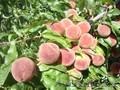 Персики крупномеры плодоносящие деревья Алматы 20000 тг.