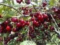 Черешни крупномеры плодоносящие деревья Алматы 20000тг. - Изображение #7, Объявление #775418