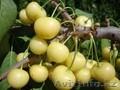 Черешни крупномеры плодоносящие деревья Алматы 20000тг. - Изображение #5, Объявление #775418