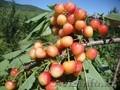 Черешни крупномеры плодоносящие деревья Алматы 20000тг. - Изображение #3, Объявление #775418