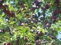 Сливы крупномеры плодоносящие деревья Алматы 20000 тг. - Изображение #6, Объявление #775417