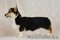 Вельш Корги Пемброк щенки в поисках новых владельцев (питомник «Nivas Joy» в Алм