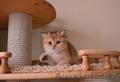 британские золотые тикированные котята