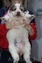 Отличные щенки Алабая - Изображение #2, Объявление #1598602