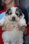 Отличные щенки Алабая - Изображение #3, Объявление #1598602