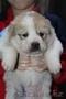 Отличные щенки Алабая - Изображение #4, Объявление #1598602