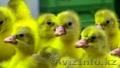 Суточные гусята и утята в Казахстане - Изображение #3, Объявление #1601469