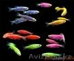 рыбки с доставкой по Алматы - Изображение #7, Объявление #1605319