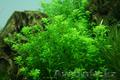 Продам аквариумные растения - Изображение #4, Объявление #1610152