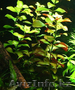 Продам аквариумные растения - Изображение #3, Объявление #1610152