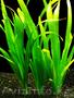 Продам аквариумные растения - Изображение #7, Объявление #1610152