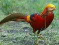 Фазанята золотого (красного) фазана - Изображение #2, Объявление #1622701