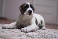 Крупный алиментный щенок Алабая САО, Объявление #1639669
