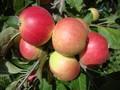 Яблони оптом от 550 тенге. Саженцы яблонь - Изображение #5, Объявление #882291