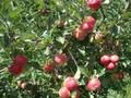 Яблони оптом от 550 тенге. Саженцы яблонь - Изображение #6, Объявление #882291