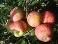 Яблони оптом от 550 тенге. Саженцы яблонь - Изображение #8, Объявление #882291