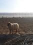 Осеменение. Молочные породы. Овцы.